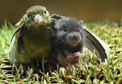 Parrot comforting rat