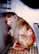 Lab animals